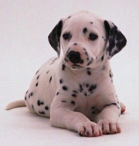 dalmatian puppies for sale in canada
