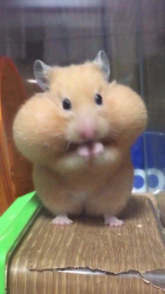 める🐶🐁デグー on Twitter   Cute animal memes, Cute hamsters ...
