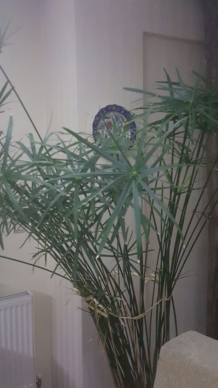 My papyrus..I have transported such a cut branch from Antalya 2 years ago...Now that is