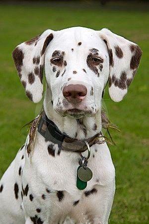 Brown Dalmatian Puppy Dog                                                                                                                                                                                 Más