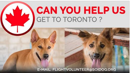Can you help us get adopted dogs to their new homes? If you are traveling FROM Thailand TO Toronto, on BOOKED tickets with Thai Airways, All Nippon Airways (ANA), China Airlines, Qatar, Korean Air, JAL, EVA, Air France, Lufthansa or KLM, please EMAIL flightvolunteer@soidog.org for more information. https://www.soidog.org/content/become-flight-volunteer