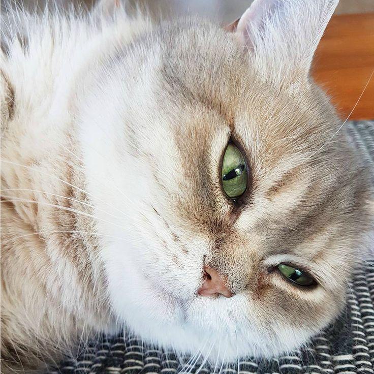 British shorthair, brits korthaar, kat, cat, poes