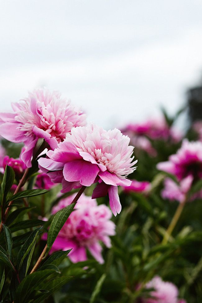 Peony farm tour !! Adore peonies? Take a look through this stunning Peony farm in Victoria.