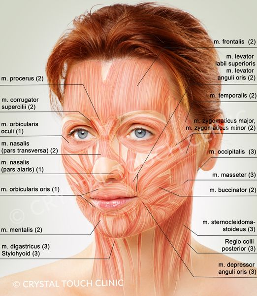 Muscle face anatomy