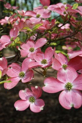 In Dallas, We had the most beautiful pink dogwood in our yard...every spring, it would put on quite a show!!