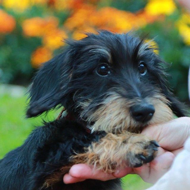 A dog's got to do what a dog's got to do... And now... Hand over the treats... I can feel a cramp coming  #amo #mo #dog #doxie #dackel #dachshund #dackelblick #dogcrushdaily #dogsofinstagram #dachshundsunited #doxiesofinstagram #paw #rauhaardackel #zwergdackel #puppy #welpe #bassotto