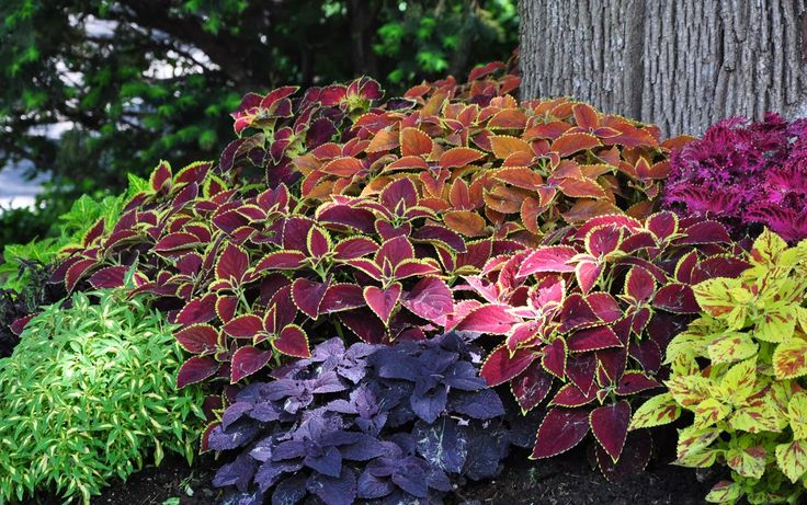 Using coleus as mass plantings as you would annual flowers. Shade garden. Colorful foliage - burnt orange, vivid magenta, lime green, deep burgundy & chartreuse.
