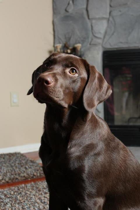 Chocolate Labs Labrador Retriever