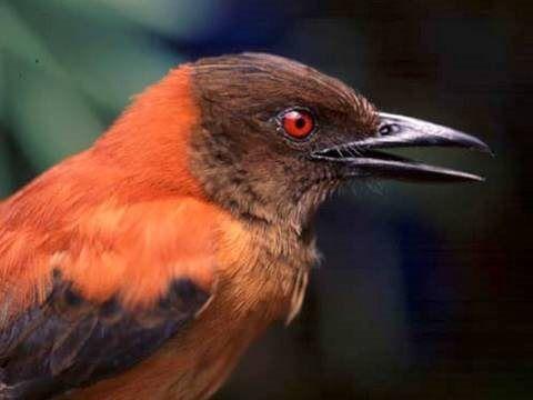Pássaros venenosos? Eles existem e podem ser fatais para os seres humanos