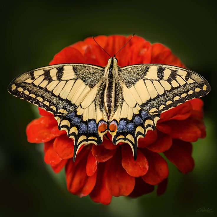 Papillo Machaon by András Pásztor