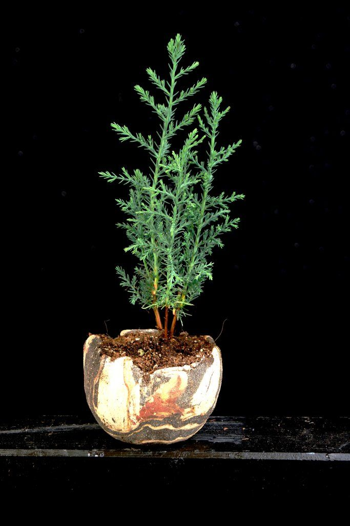 Die Schale ist von mir (www.akzentschalen.de), die Pflanze, eine Toskana-Zypresse, von Ulrich Fendrich (www.bonsai-werkstatt-fendrich.de) in diese Schale gepflanzt.