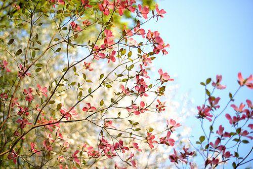 ハナミズキ flowering dogwood by myu-myu, via Flickr