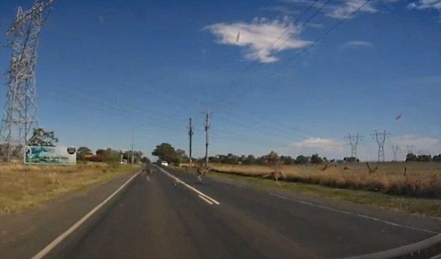 Kangaroos Crossing The Road Caught on Dashcam in Australia