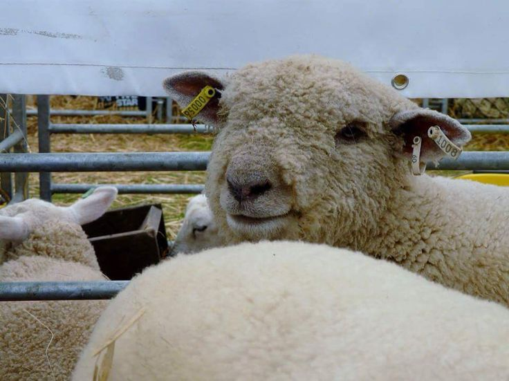 Sheep at the Lincolnshire show