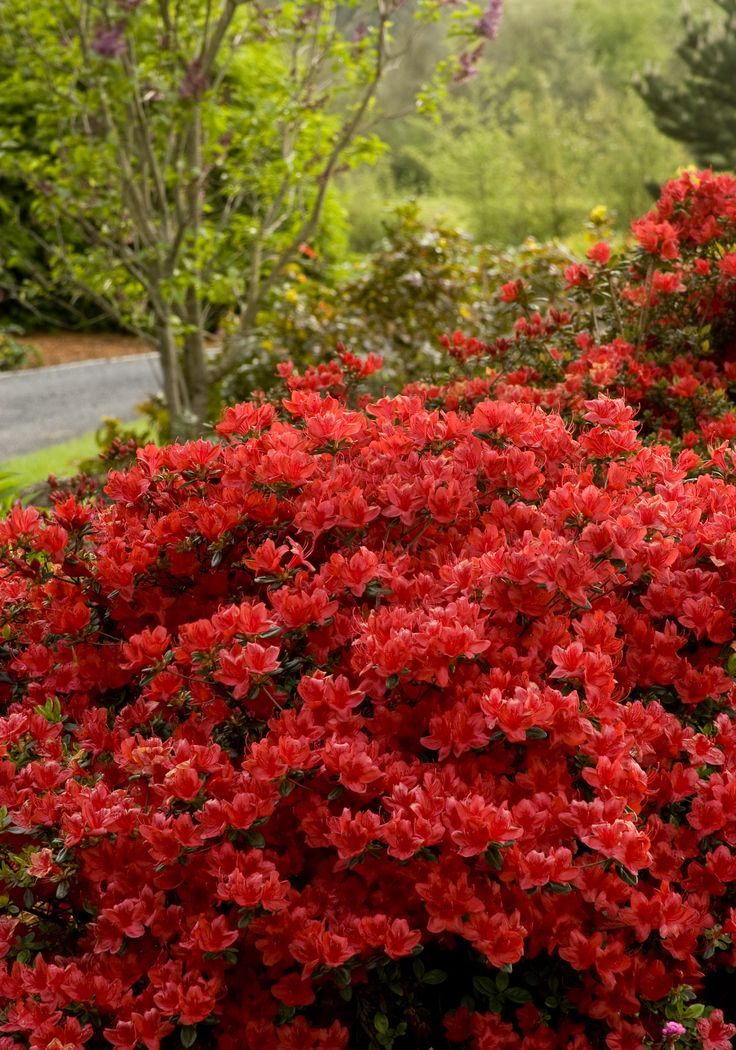Girard 39 s hot shot azalea azalea x 39 girard 39 s hot shot for Garden plant information