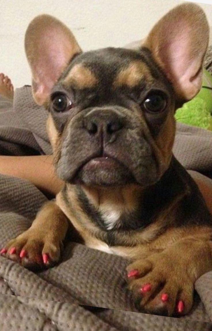French Bulldog Puppy ❤