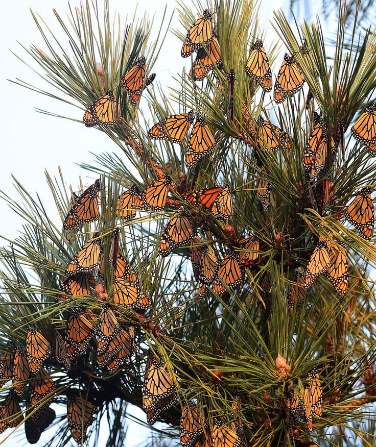 Monarch butterfly numbers up dramatically this year, data show
