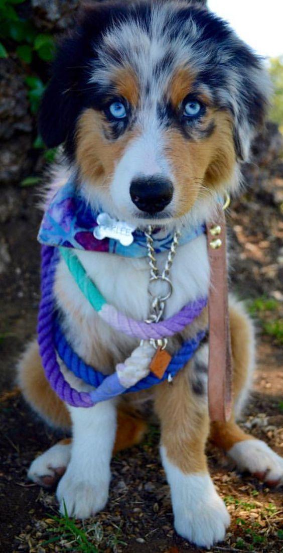 Aussie Welpen Bild Von Valeria Rempel Auf Australian Sheppard Susse Tiere Hunde Fotos