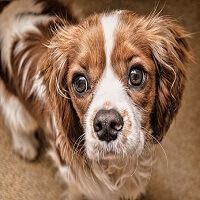 Saying good-bye to your dog for a few minutes or six hours should be non-eventful, but for some dogs, a distressing panic sets in. It is heartbreaking for both owner and pet, and there are various reasons for it. Let's look at what leads up to separation anxiety in dogs, and what can be done about it.     #SeparationAnxietyinDogs