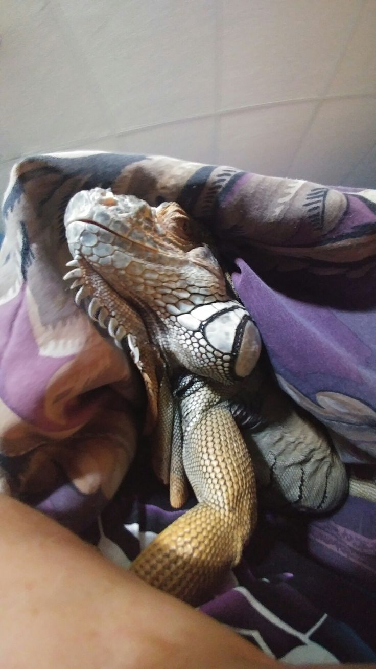 Iguana, exotic pet, nature