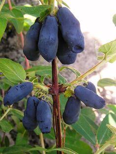 Желанная и животворящая. Чем хороша и как выращивать жимолость | Сад | Дача | Аргументы и Факты