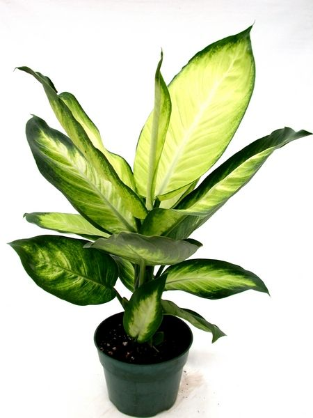 17 Best Images About Indoor Tropical Plants On Pinterest