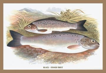 Black-Finned Trout 12x18 Giclee on canvas