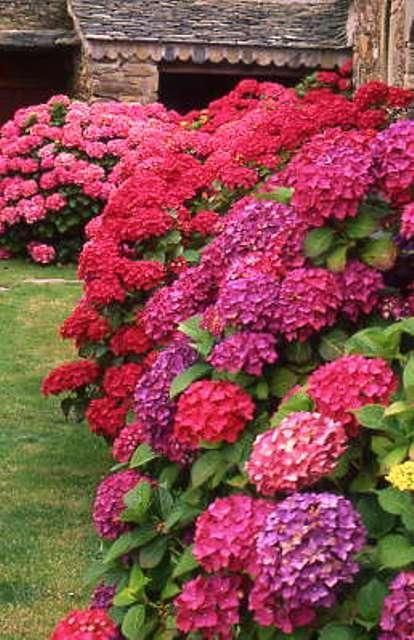 Bright red hydrangeas / Flower border / - - Your Local 14 day Weather FREE > www.weathertrends... No Ads or Apps or Hidden Costs