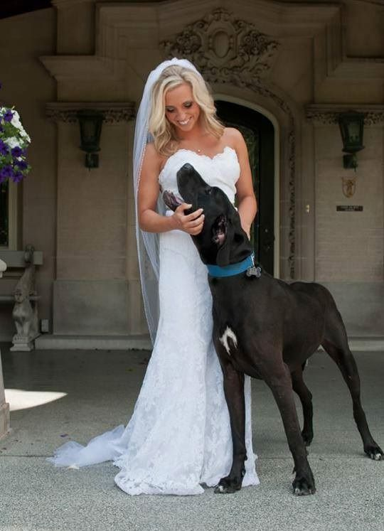 Bride In Bare Shoulders White Wedding Dress With Large Black Great Dane Dog Canine