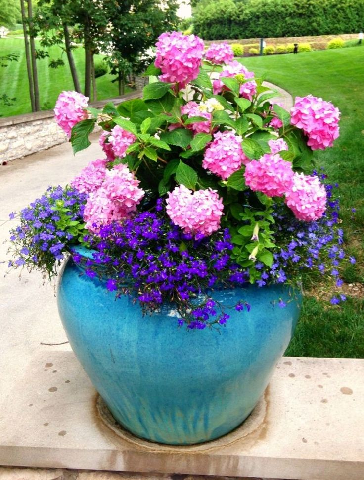 Summer Container Planting ~ This pot is planted with an Endless Summer hydrangea and surrounded by light and dark lobelia and ultra lilac petunia.