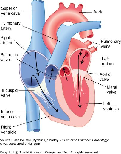 Best 25 human heart diagram ideas on pinterest heart diagram the heart in pediatric anatomy and physiology ccuart Image collections