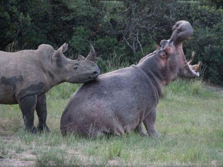 Hippopotamus And Rhinoceros Quarrelling sanctuariesindia