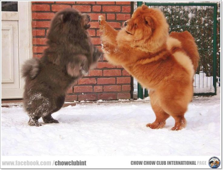 www.facebook.com/chowclubint Looks like the two chows I lost to cancer, Lila and Riley, they played just like this.