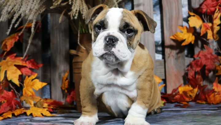 Casi English Bulldog Puppies For Sale Bulldog Puppies Puppies