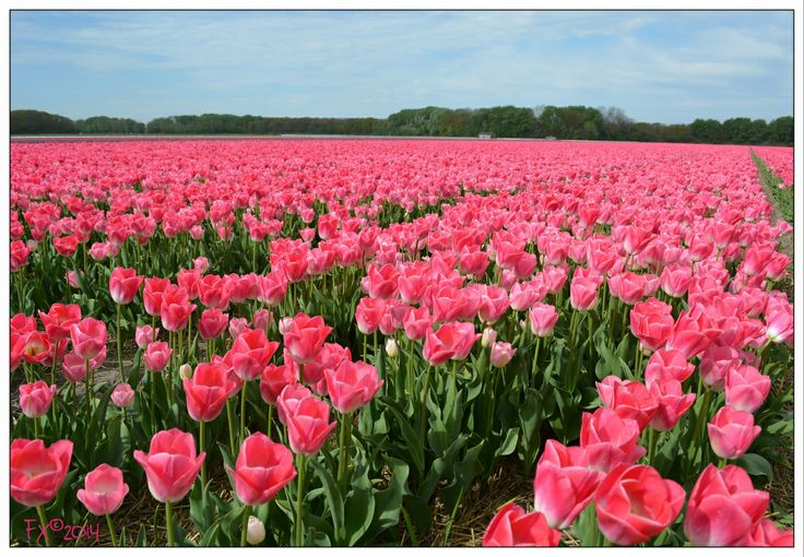 Pink tulips with blue sky