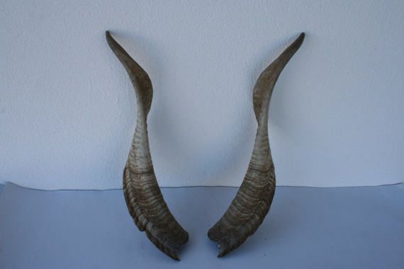 Long symmetrical ram horns. Portuguese many by DecadesOfFunkiness