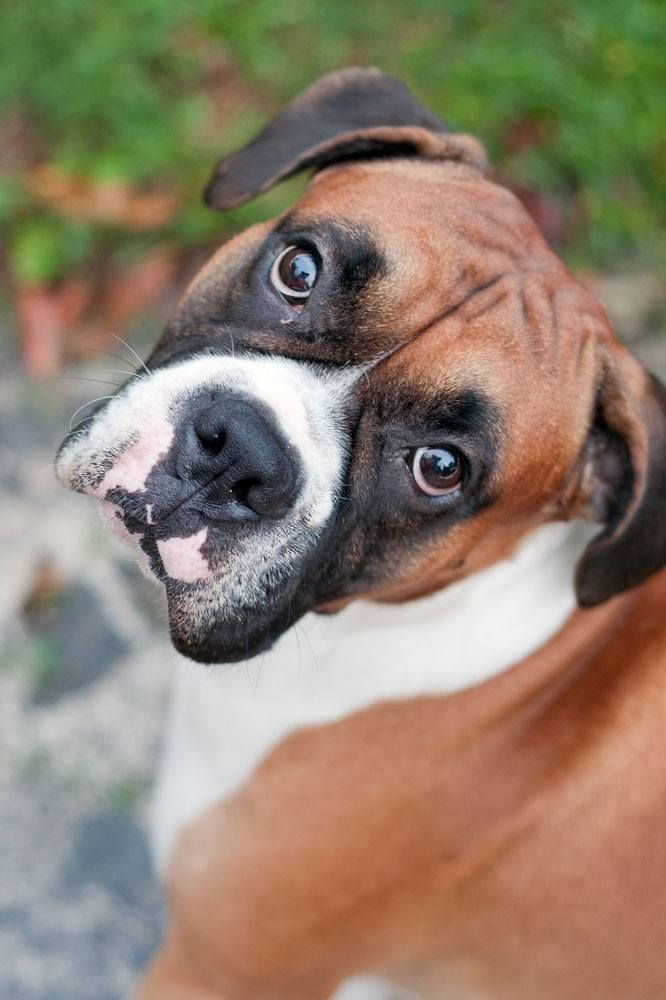 Popular Boxer dog names that might fit this puppy are...Chloe, Max, Legend, Cadence, or even Elvis. Find more here... http://www.dog-names-and-more.com/Boxer-Dog-Names.html