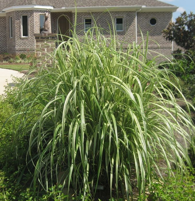 17 best images about ornamental grasses on pinterest for Ornamental grasses 3 ft tall