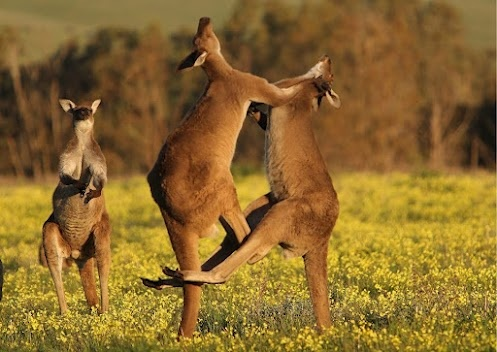 Fact: Male kangaroos are often known to engage in long and ritualised fighting, known as 'boxing'. Weighing up to 90 kilograms, they can seriously pack a punch!  (Photo: Roger Foster)