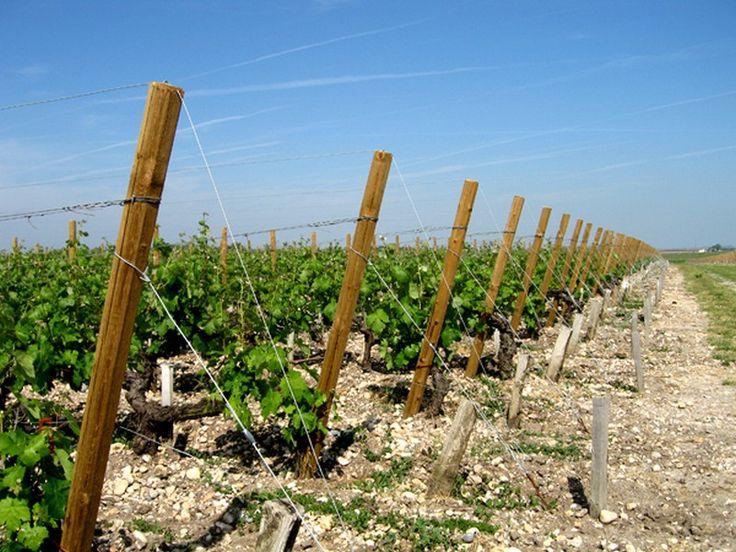 59 best images about palissage pour arbre fruitier on - Planter un pied de vigne ...