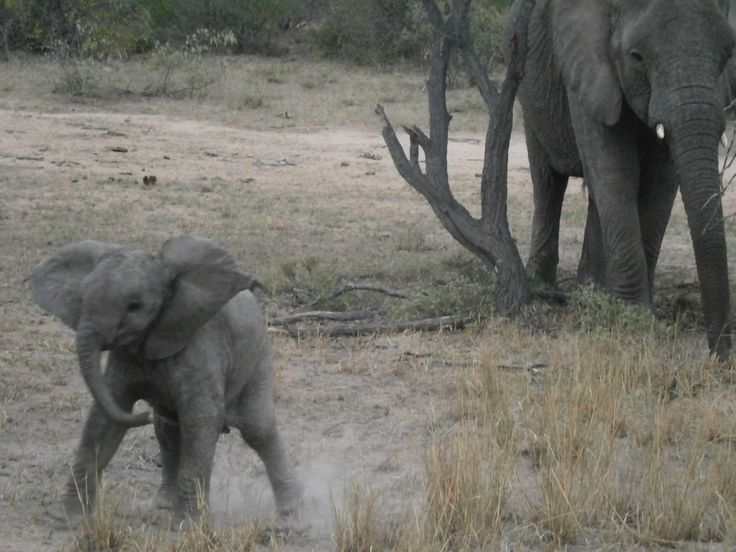 A baby Elephant doing a mock charge.