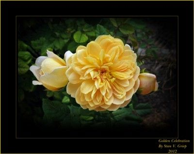 Learn More About Old English Roses. Love it.