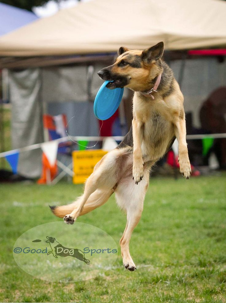3b16d85f3b42d7f9631ba249173eedc6 facebook 85 best dog disc images on pinterest doggies, dogs and border collie