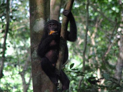 A bonobo, formerly called a pygmy chimpanzee, is eating fruit in the Democratic Republic of the Congo. Bonobos, chimps, gorillas and humans have all evolved their own gut microbes based on an ancestral gut flora in our most recent common ancestor. Credit: Alexander Georgiev photo, courtesy of Science