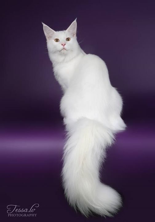 MaineCoon, White. Lunar Windrush Feline Fantasy JW