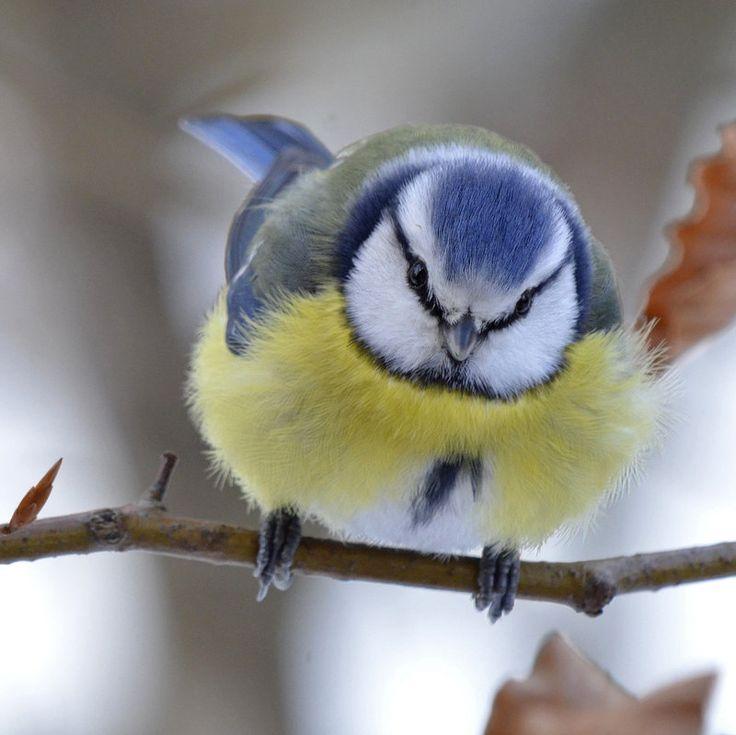Les 25 meilleures id es de la cat gorie mesange sur for Oiseau par la couleur