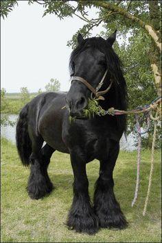 Giant black horse eating the tree! Poitevin