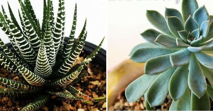 Los consejos de NATURALEZA TROPICAL nos ayudarán a mejorar la belleza de nuestras suculentas. ¡Genial!