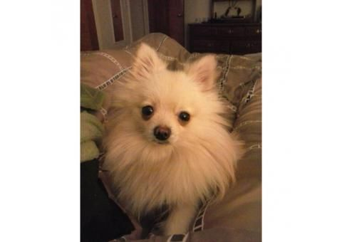 1.5 years old male pomeranian to adopt