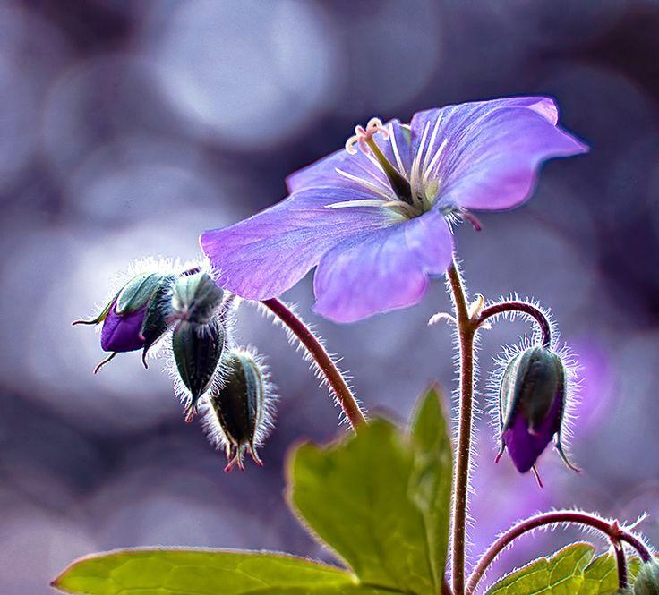 Geranium: JOHNSON's blue?Lights, Shades Of Purple, Mornings Glories, Colors, Little Flower, Beautiful, Gardens, Blue Flower, Purple Flower